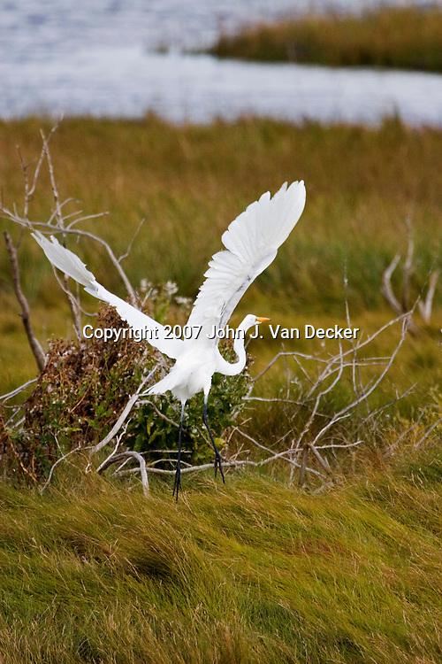 Great Egret in flight. Edwin B. Forsythe National Wildlife Refuge, NJ, USA egrets, herons, storks