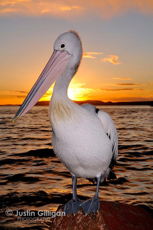Australian Pelicans (Pelecanus conspicillatus) photographed in Port Stephens, NSW, Australia.
