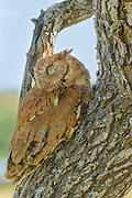 Red morph Eastern screech-owl in a tree