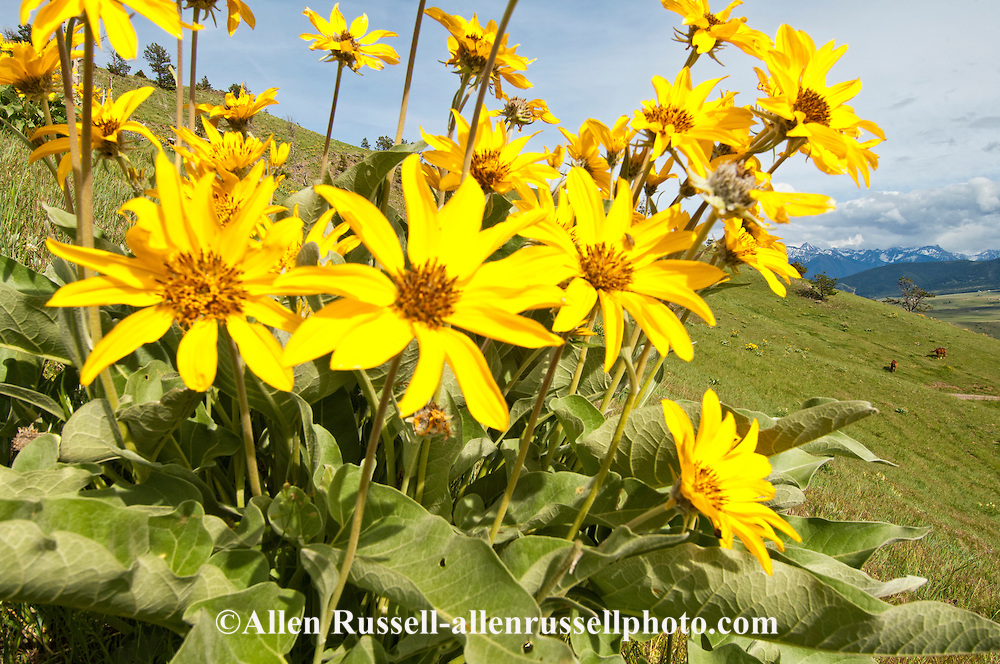 Absaroka Mountains south of Livingston, Montana from west, Arrowleaf Balsamroot wildflowers, horses