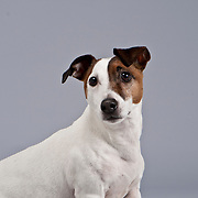 Wistful Jack Russell Terrier seated on gray background.