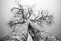 The branches of a tree on Loisaba Conservancy, Kenya.