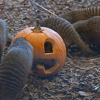 Banded mongoose (Mungos mungo ) are seen with Halloween pumpkin zoo keepers feed them as a Halloween treat in Zoo Budapest and Botanical Garden in Budapest, Hungary on October 31, 2019. ATTILA VOLGYI