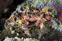 Decorator Crab pauses amongst colorful Corralimorphs and Sponges<br /> <br /> Shot in Indonesia