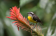 A Bananaquit perches on a tropical flower.