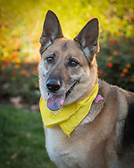 Portrait of a German Shepherd dog wearing a yellow bandana.