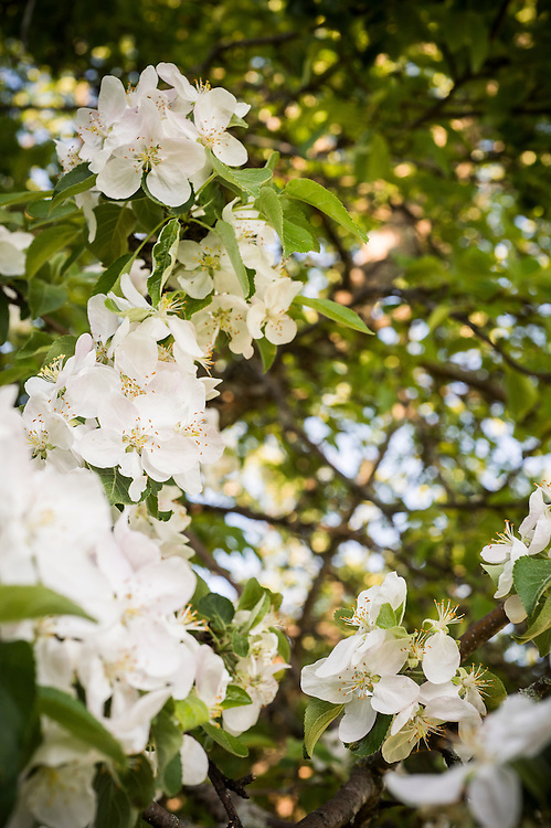 Apple blossoms blooming.