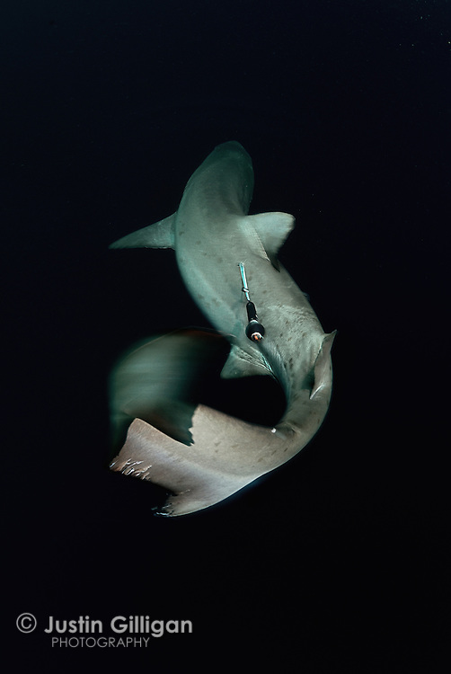 A grey nurse shark (Carcharias taurus) with a pop-up archival satellite tag attached to it's flank. These tags are used to study the migratory movements and will remain on the shark for up to 6 months, photographed off South West Rocks, New South Wales, Australia, Pacific Ocean.