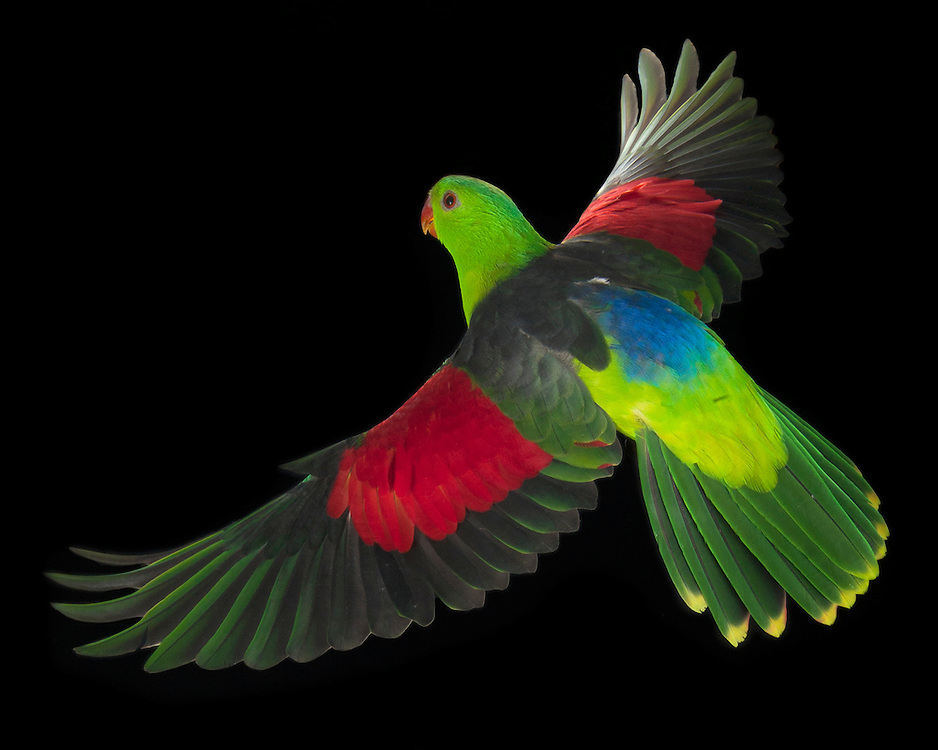 Red-winged Parrot, (Aprosmictus erythropterus); captive, credit: Pandemonium Aviaries/M.D.Kern