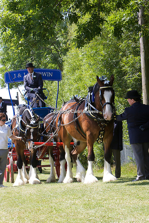 Great Yorkshire Show 2011  Heavy Horse Team Turnouts<br /> John Goodwin and the Capespan Team of Shires