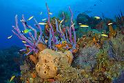 Coral Reef in the Northern Bahamas showing a variety of sponges, corals and tropical fish, including Blue Head Wrasse (Thalassoma bifasciatum). Image available as a premium quality aluminum print ready to hang.