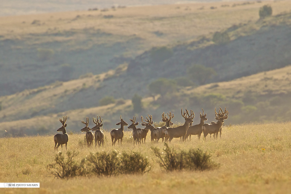 Herd of mule deer bucks in morning light