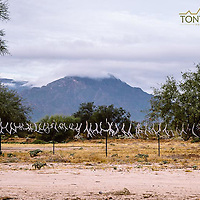 hunting photograph mule deer antlers on a fence sonora mexico