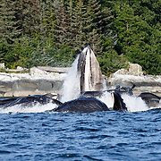 Humpback whales (Megaptera novaeangliae) engaged in bubble net feeding during the summer in Alaska.