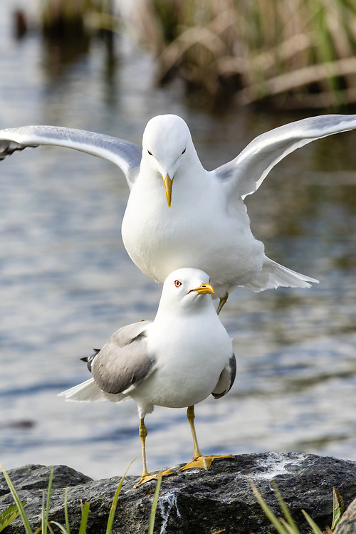 Mew Gulls (Larus canus) courtship at Potter Marsh in Southcental Alaska. Spring. Evening.