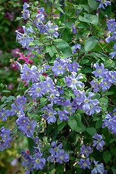 Clematis 'Prince Charles' AGM