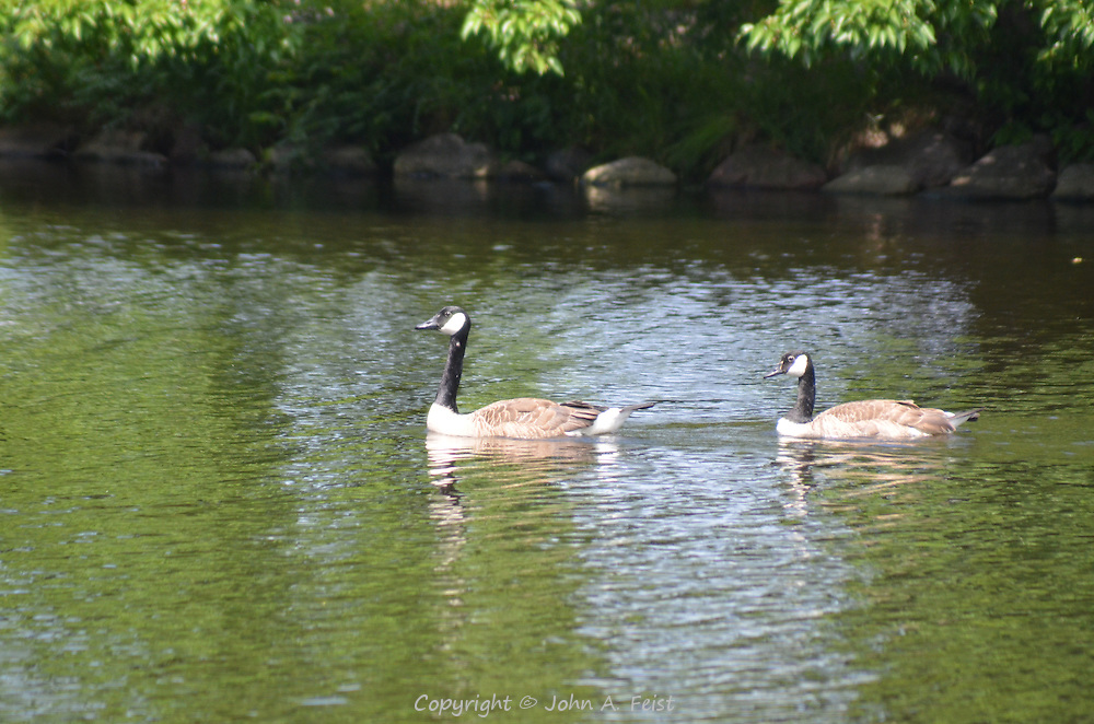 A pair of geese enjoying the warm sunshine along the Charles River in Boston, AM