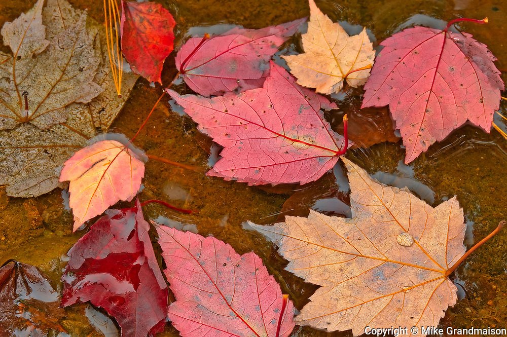Red maple leaves (Acer rubrum) in autumn<br />