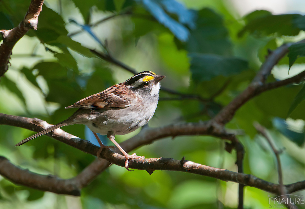 White throated sparrow on a branch hunting for insects