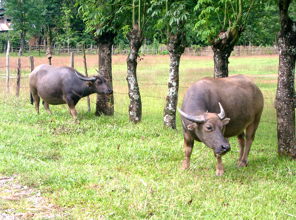 Buffaloes near rice farm Vangviang