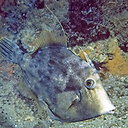 Planehead Filefish inhabit rocky reefs and rubble strewn sand bottoms in Tropical West Atlantic; picture taken Jacksonfille, FL.