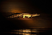 Spectacled Caiman (Caiman crocodilus)<br /> Savannah<br /> Rupununi<br /> GUYANA. South America<br /> RANGE: Central & South America