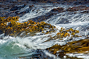 The bull kelp ebbs and flows with the tide, along the coast of Curio Bay, in the Catlins, New Zealand