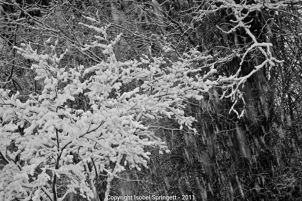 Black and White Snow Storm., Courtenay, British Columbia, Canada, Isobel Springett
