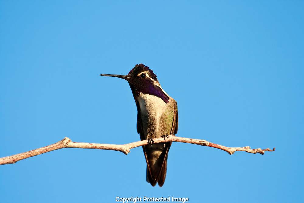 Hummingbirds are very territorial and this male Costa's is guarding his feeding area