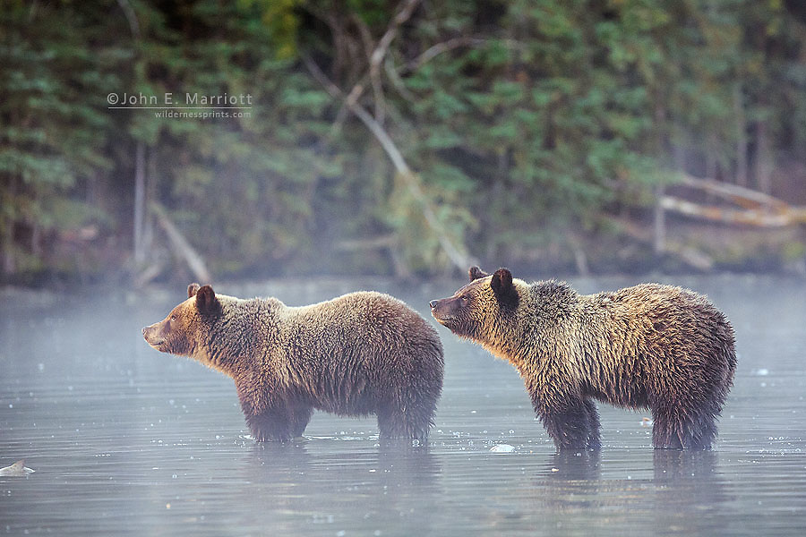 Grizzly bear cubs, British Columbia, Canada