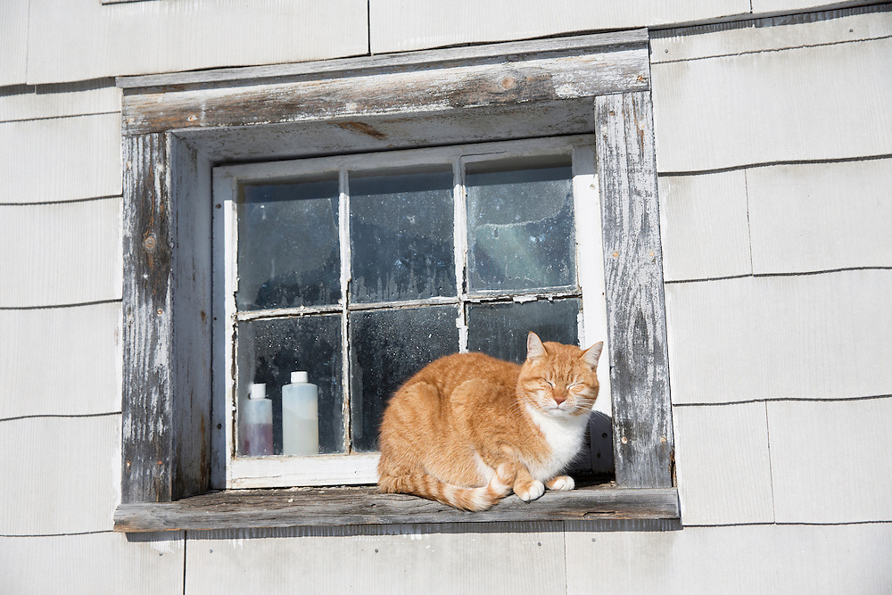 Barn Cat sunning himself on a barn window sill