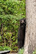 USA, Vince Shute Wildlife Sanctuary (MN).Black bear (Ursus americanus) standing by a tree