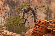 A bent pine tree grows near the top of a sandstone column in Zion National Park, Utah.