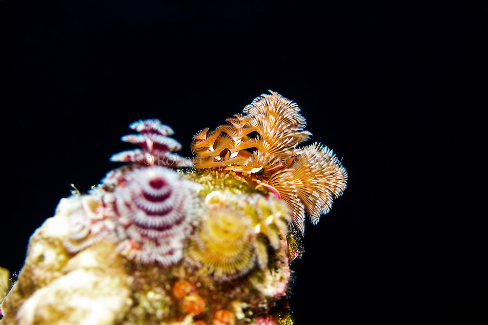 Christmas tree worm cluster.