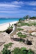 Albatross, Midway Island, Papahanaumokuakea Marine National Monument,  Northwest Hawaiian Islands