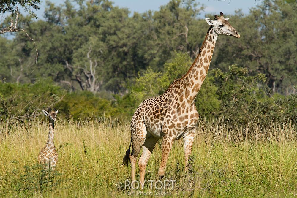 Adult Thorncroft's giraffe and calf, Zambia, Africa