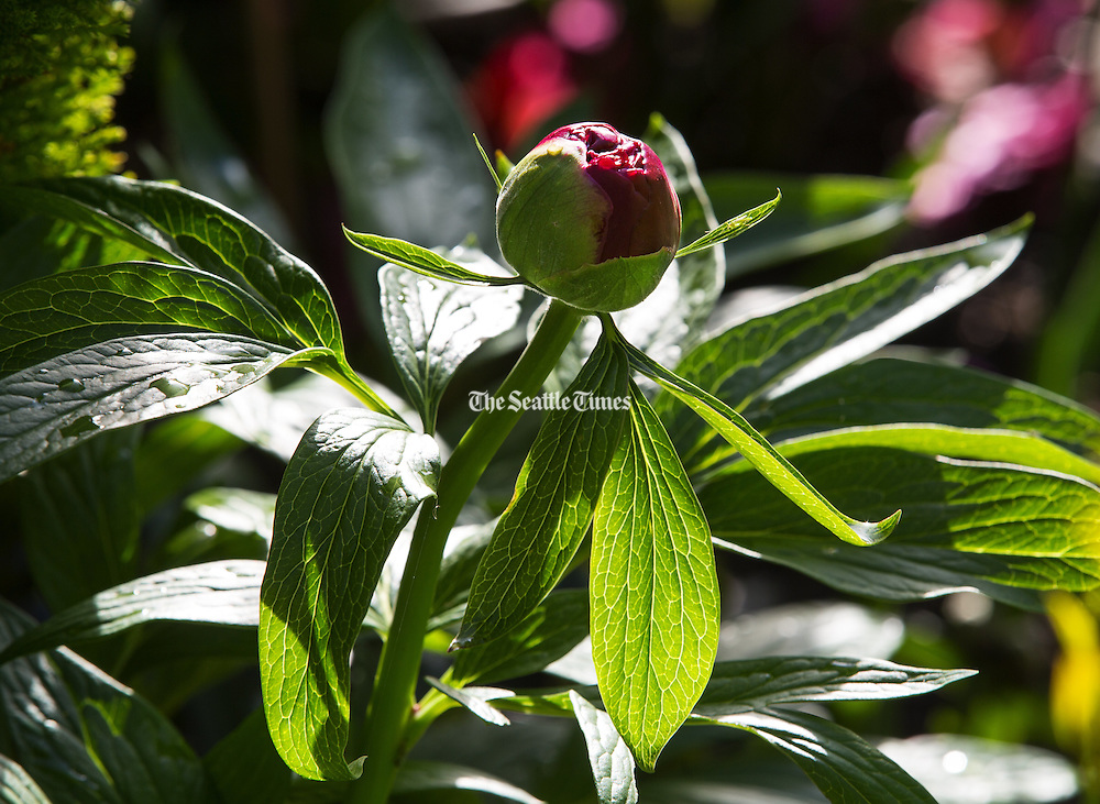 A peony bud is ready to burst. (Mike Siegel / The Seattle Times)