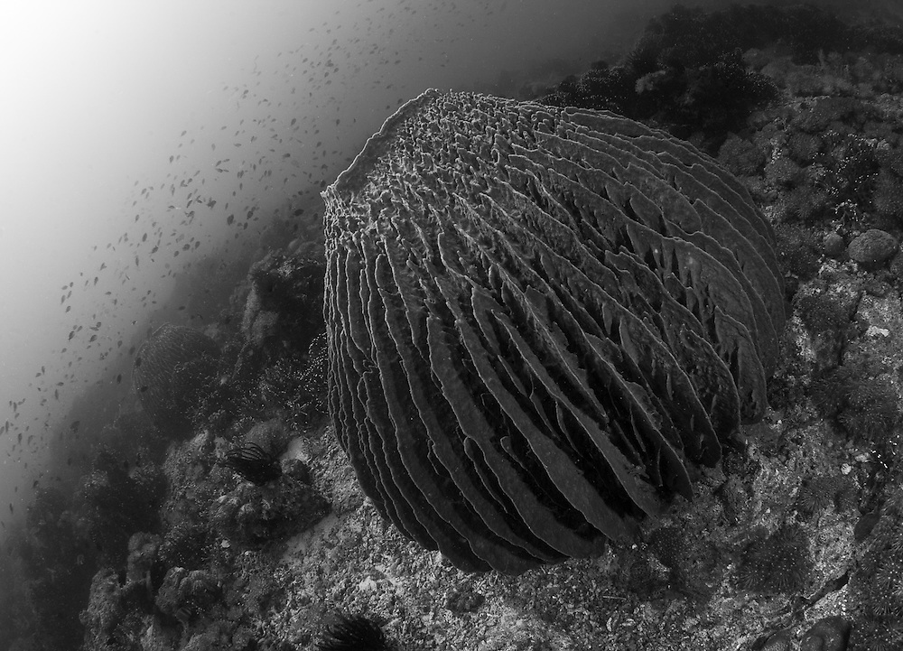 INDONESIA. Pemuteran, Bali. June 28th, 2013. A large Barrel sponge lives atop the coral reef at a diving area named 'Close Encounters', located outside Pemetruan bay on the northeast coast of Bali.