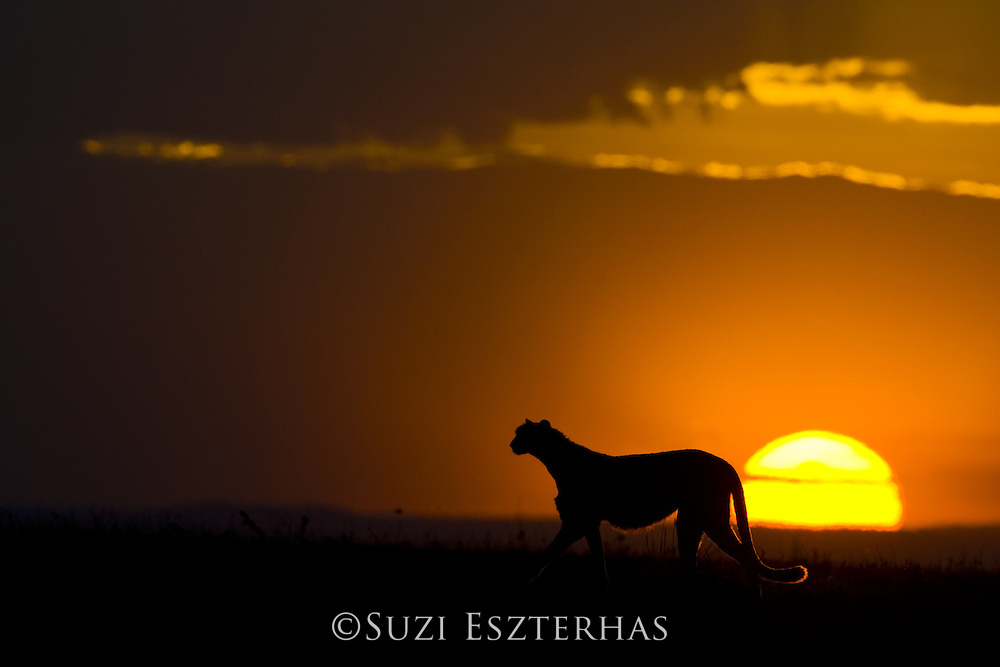 Cheetah<br /> Acinonyx jubatus<br /> Female hunting at sunset<br /> Maasai Mara Reserve, Kenya