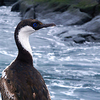 Wildlife photo of a Blue-eyed shag at the Antarctic Peninsula.