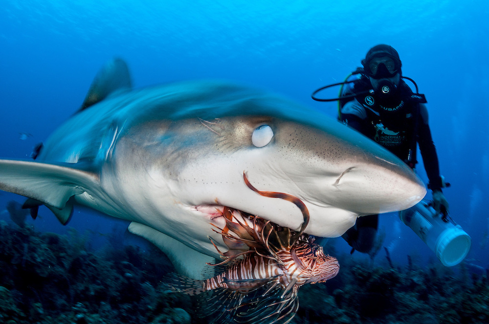A lionfish is fed to a shark. It was once thought that you could teach predators like this Caribbean reef shark to eat lionfish, but there is no evidence any efforts have been working. Sharks tend to hunt weak or dying animals and actually help fish populations beneath them thrive.
