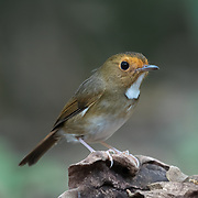 The Rufous-browed Flycatcher (Anthipes solitaris) is a species of bird in the Muscicapidae family.