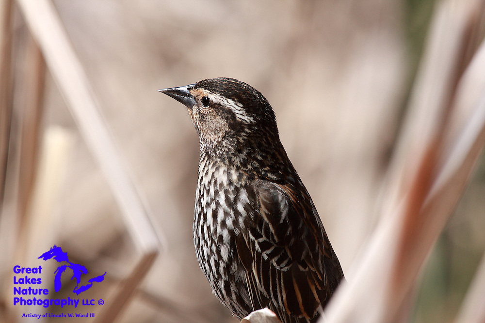 Red-winged Blackbirds are one of my favorites. Their unique call is one of those special sounds that announces the arrival of Spring. Nesting pairs are fiercely protective parents. This female is keeping a close eye on me.