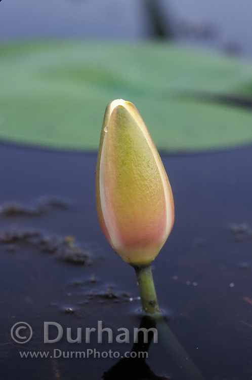 A waterlily (Castalia odorata) flower bud rising through tanic water. Okefenokee Swamp National Wildlife Refuge, Georgia.