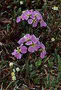 Bell Heather, Cuckoo Flower, Tundra, Wildflowers, purple flower, white flower, Denali National Park, Alaska