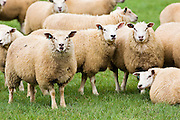 Flock of sheep in a field , Oxfordshire, England
