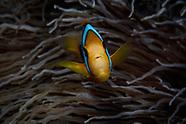 Amphiprion chrysopterus (Orange Fin Anemonefish)