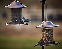 House Finch and Tufted Titmouse. Image taken with a Nikon Df camera and 300 mm f/4 telephoto lens (ISO 320, 300 mm, f/4, 1/320 sec)