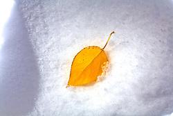 Colorado Rockies: A single aspen leaf lies in pristine glory in fresh snow.  Breckenridge, Colorado Rocky Mountains.