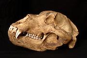 Kodiak bear skull (Ursus arctos middendorffi)